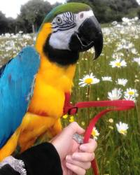 Macaw Harness