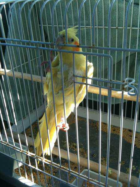 Found - Cockatiel - Unknown