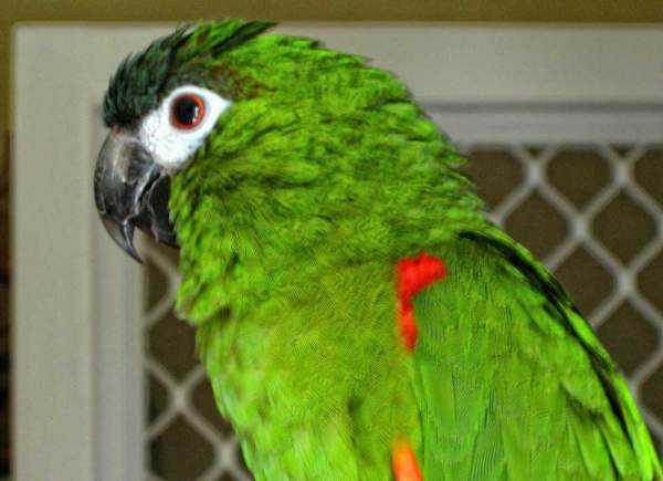 Lost - Macaw - PAPAYA