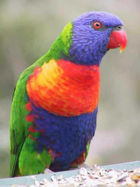 Lost - Lory / Lorikeet - Squirt