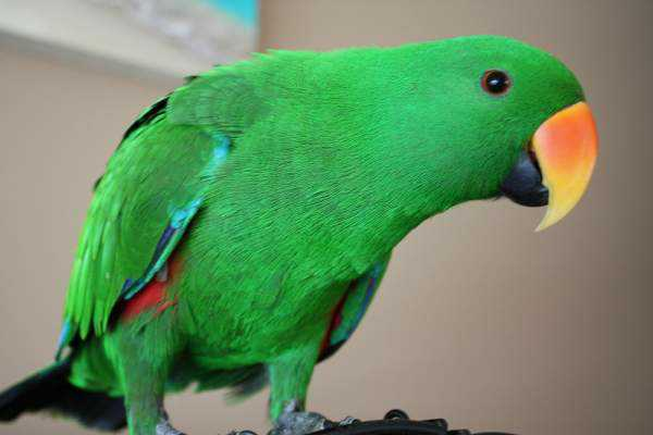 Lost - Eclectus - Dudley