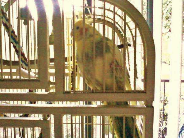 Lost - Cockatiel - Annie