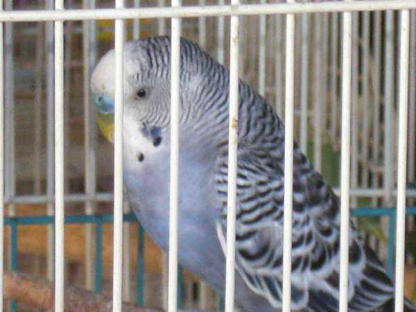 Lost - Parakeet - Smokey