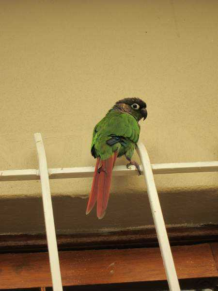 Lost - Conure - Jerry