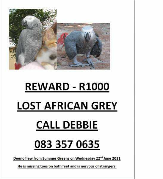Lost - African Grey - Dino