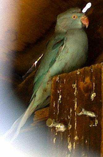 Lost - Indian Ringneck Parakeet - Donsie
