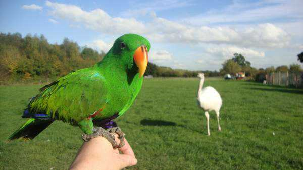 Lost - Eclectus - Papoo