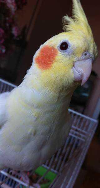 Lost - Cockatiel - Coco