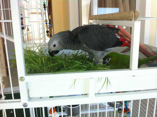 Lost - African Grey - Doo