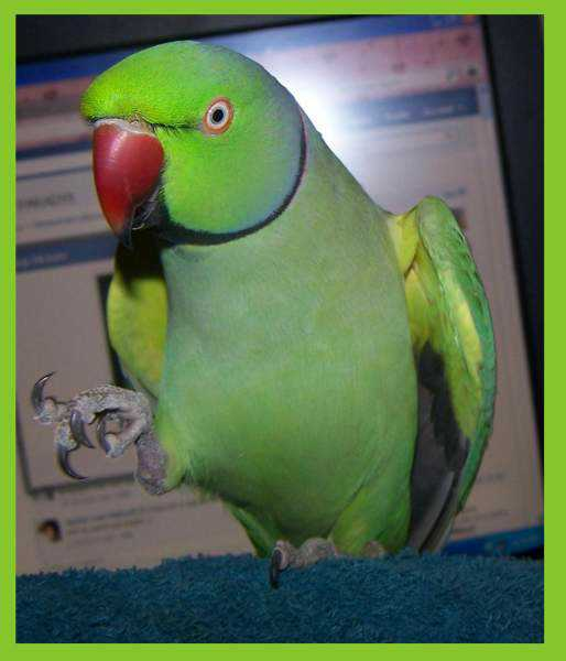 Lost - Indian Ringneck Parakeet - Jules