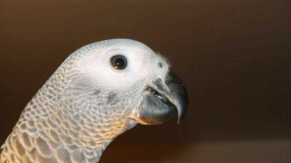 Lost - African Grey - Bobby