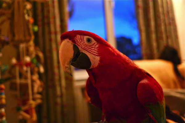 Lost - Macaw - Evie