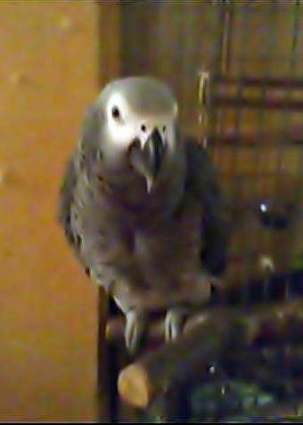 Lost - African Grey - Coco