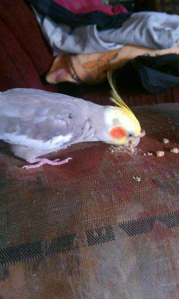 Lost - Cockatiel - Quinn