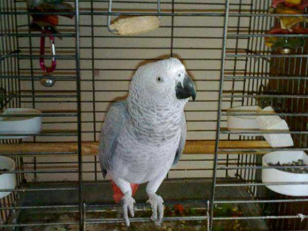 Lost - African Grey - Deamon