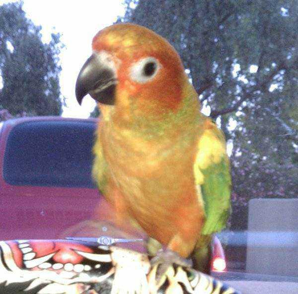 Lost - Conure - Baby Bird