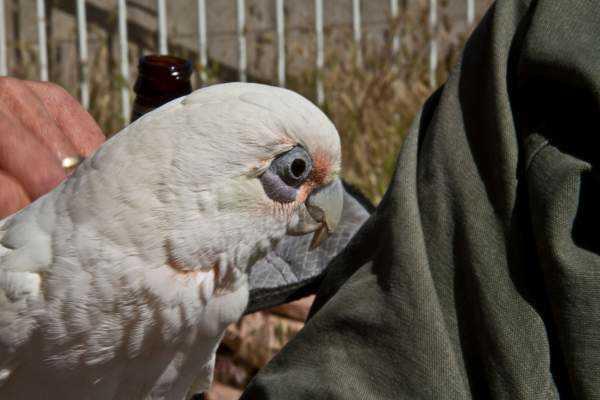Lost - Cockatoo - Trudy