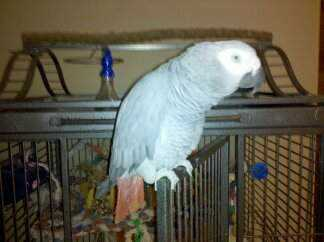 Lost - African Grey - Friday