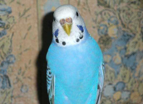 Lost - Parakeet - Cheeky