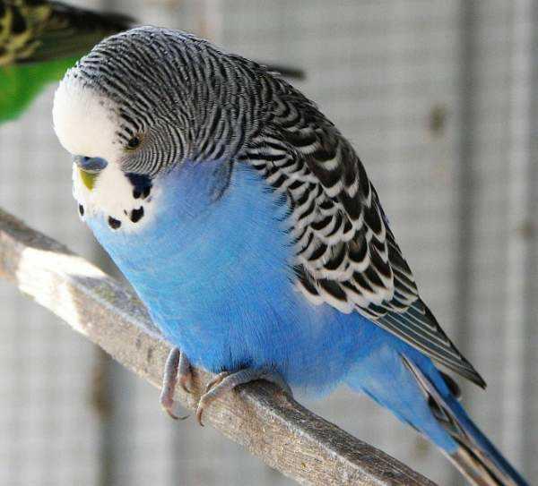 Lost - Budgerigar - Blue Boy Or Bluey
