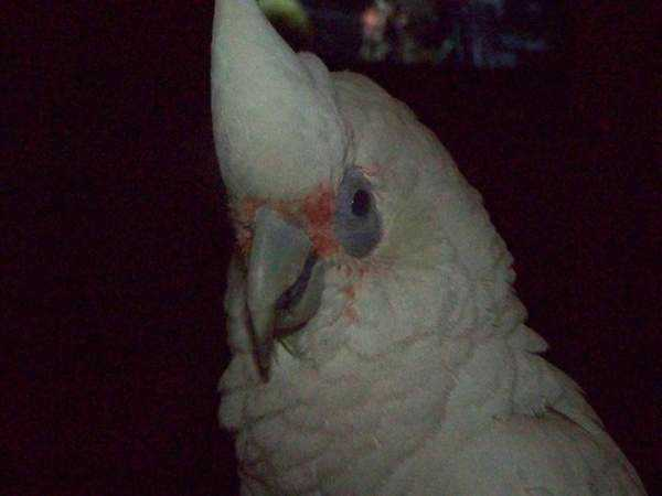 Lost - Corella Cockatoo - Cocky