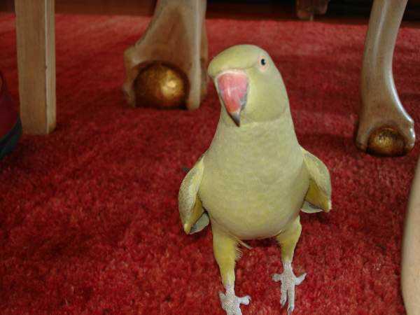 Lost - Indian Ringneck Parakeet - Princess