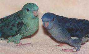 Lost - Lineolated Parakeet