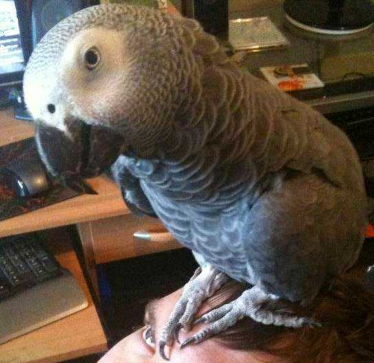 Lost - African Grey - Charlie