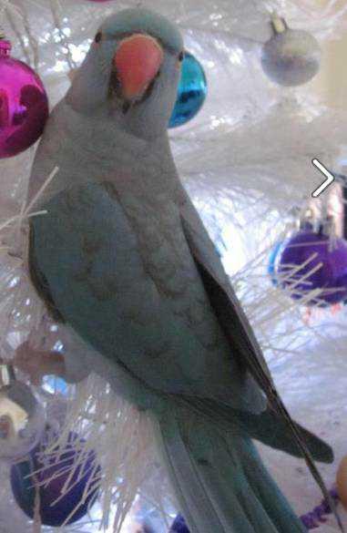 Lost - Indian Ringneck Parakeet - Pepito