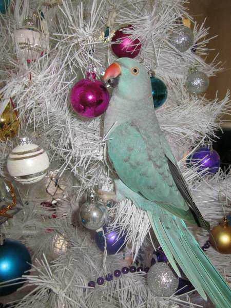 Lost - Indian Ringneck Parakeet - Pepito