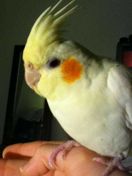 Lost - Cockatiel - ChiChi