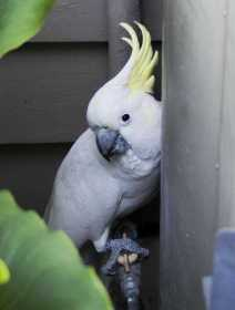 Found Cockatoo