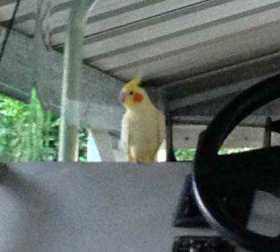Found Cockatiel