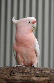 Found Major Mitchell Cockatoo