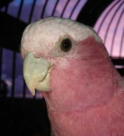 Found Galah Cockatoo