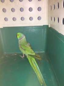 Found Indian Ringneck Parakeet