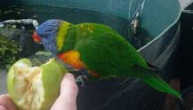 Found Lorikeet