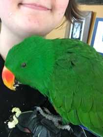 Found Eclectus
