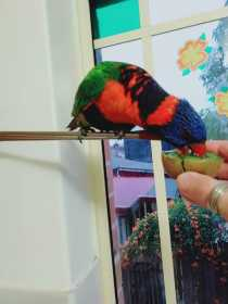 Found Lory / Lorikeet