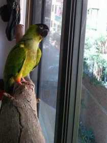 Lost Nanday / Black-Hooded Parakeet