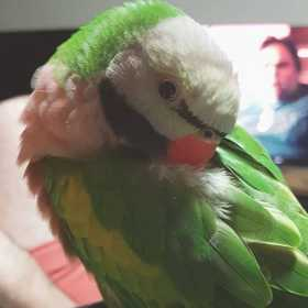 Lost Mustached / Moustached Parakeet