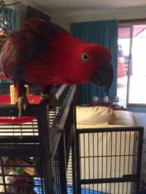 Lost Eclectus