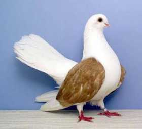 Lost Pigeon