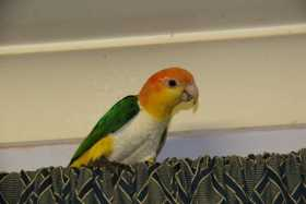 Lost Caique