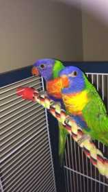 Lost Lorikeet