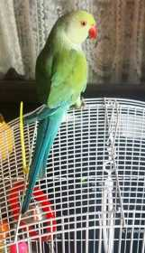 Lost Indian Ringneck Parakeet