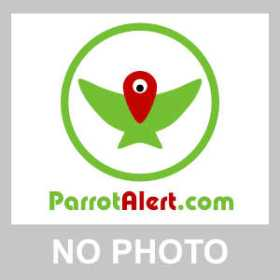 Lost Lineolated Parakeet