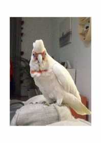 Lost Corella Cockatoo