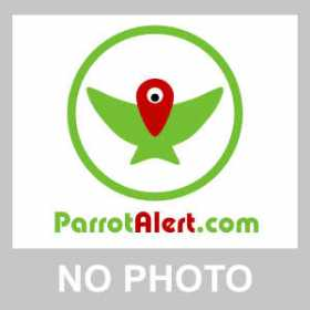 Lost Canary-Winged Parakeet