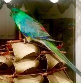 Lost Red Rump Parakeet